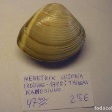 Coleccionismo de moluscos: BIVALVO SHELL MERETRIX LUSORIA. TAIWAN. . Lote 192258790