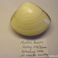 Coleccionismo de moluscos: BIVALVO SHELL MERETRIX LUSORIA. TAIWAN. Nº 2.. Lote 192259038