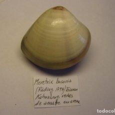 Coleccionismo de moluscos: BIVALVO SHELL MERETRIX LUSORIA. TAIWAN. Nº 3.. Lote 192259245