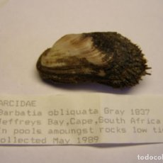Coleccionismo de moluscos: BIVALVO SHELL BARBATIA OBLIQUATA. SUDÁFRICA.. Lote 192260672