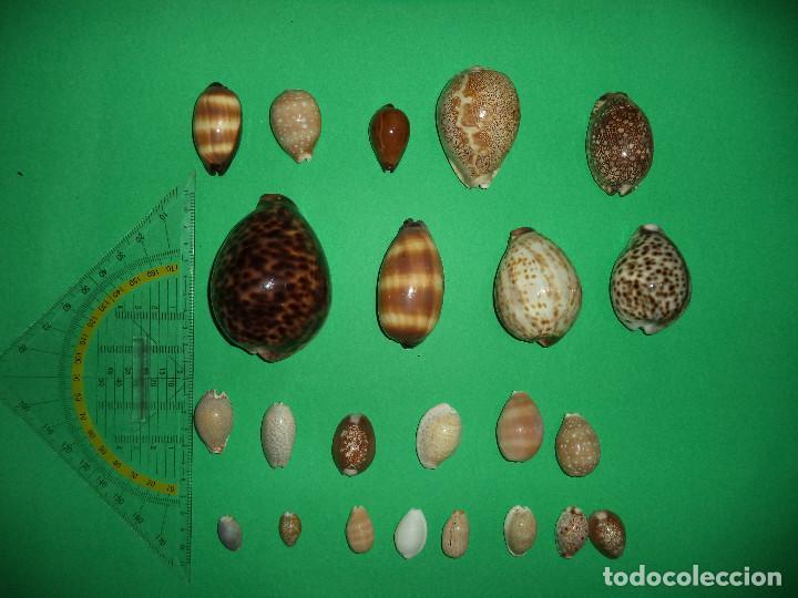 Coleccionismo de moluscos: Antoigua Coleccion de malacologista - cypraea grande, médias e pequenas e outras conchas ... - Foto 4 - 193923528