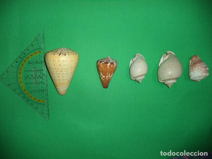 Coleccionismo de moluscos: Antoigua Coleccion de malacologista - cypraea grande, médias e pequenas e outras conchas ... - Foto 8 - 193923528