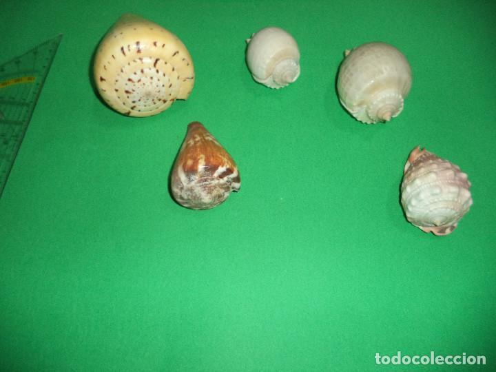 Coleccionismo de moluscos: Antoigua Coleccion de malacologista - cypraea grande, médias e pequenas e outras conchas ... - Foto 10 - 193923528