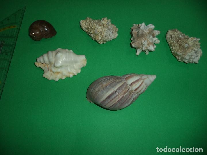 Coleccionismo de moluscos: Antoigua Coleccion de malacologista - cypraea grande, médias e pequenas e outras conchas ... - Foto 12 - 193923528