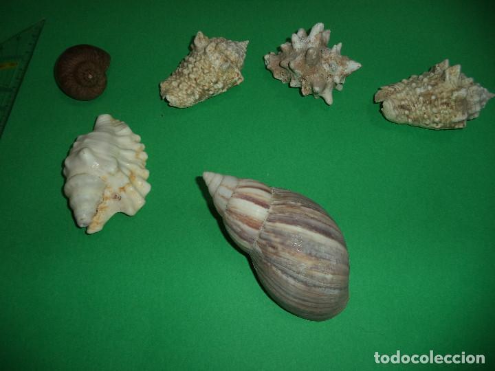 Coleccionismo de moluscos: Antoigua Coleccion de malacologista - cypraea grande, médias e pequenas e outras conchas ... - Foto 13 - 193923528