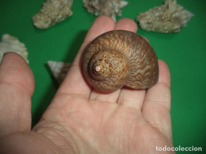 Coleccionismo de moluscos: Antoigua Coleccion de malacologista - cypraea grande, médias e pequenas e outras conchas ... - Foto 14 - 193923528