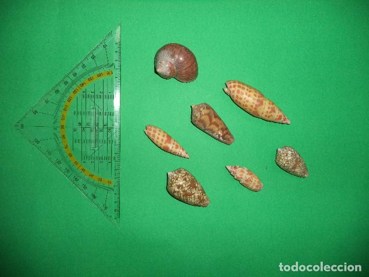 Coleccionismo de moluscos: Antoigua Coleccion de malacologista - cypraea grande, médias e pequenas e outras conchas ... - Foto 19 - 193923528