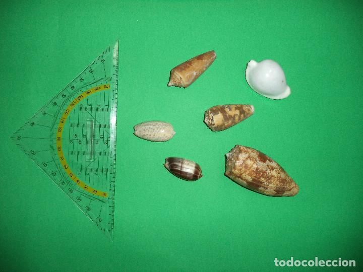Coleccionismo de moluscos: Antoigua Coleccion de malacologista - cypraea grande, médias e pequenas e outras conchas ... - Foto 21 - 193923528