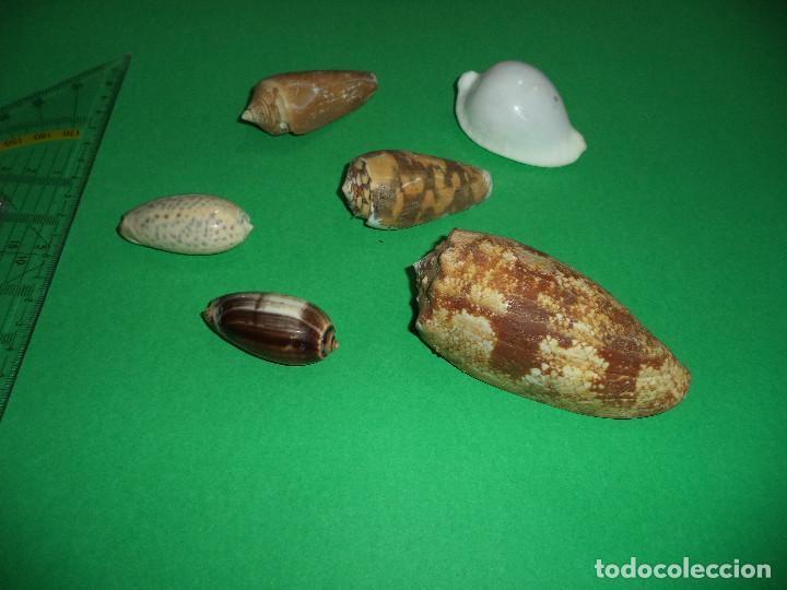 Coleccionismo de moluscos: Antoigua Coleccion de malacologista - cypraea grande, médias e pequenas e outras conchas ... - Foto 22 - 193923528
