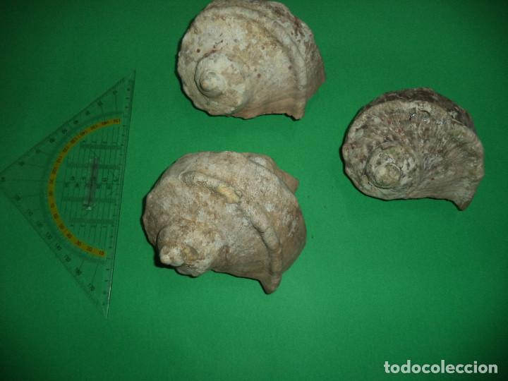 Coleccionismo de moluscos: Antoigua Coleccion de malacologista - cypraea grande, médias e pequenas e outras conchas ... - Foto 23 - 193923528