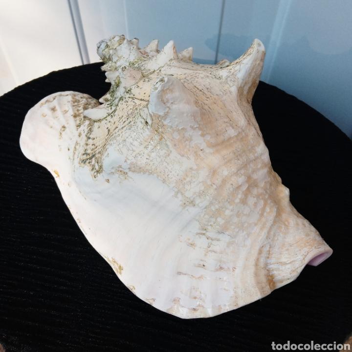 Coleccionismo de moluscos: Caracola reina. Mar caribe (Cuba) gran tamaño y muy buen estado - Foto 5 - 140907938
