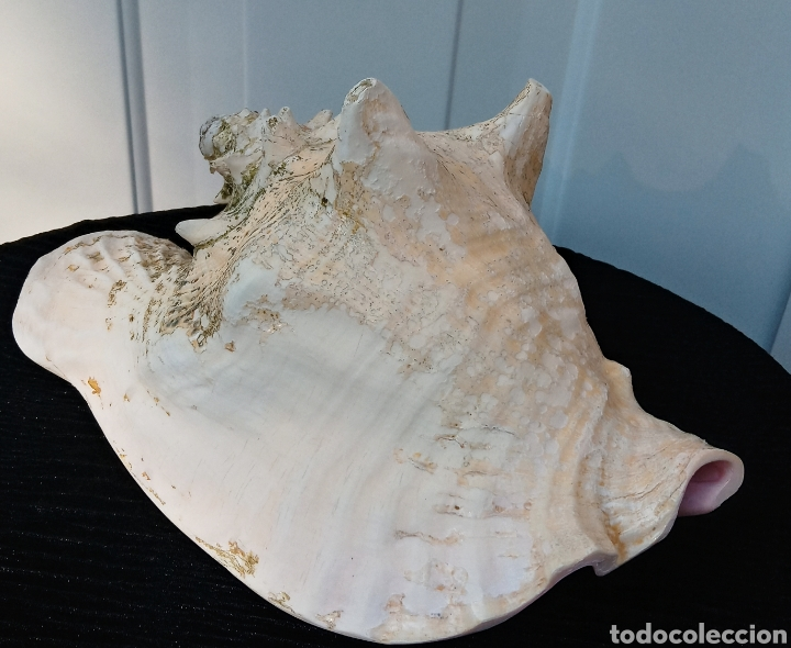 Coleccionismo de moluscos: Caracola reina. Mar caribe (Cuba) gran tamaño y muy buen estado - Foto 6 - 140907938