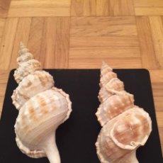 Coleccionismo de moluscos: LOTE COMPUESTO POR 2 CARACOLAS DE MAR EN PERFECTO ESTADO EJEMPLARES DE COLECCION, (19 X 8 - 17 X 7). Lote 194673772