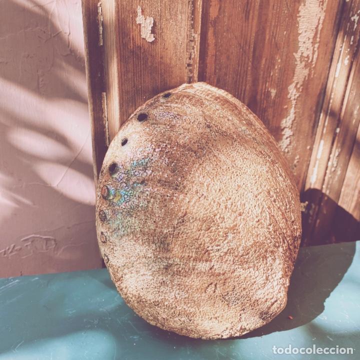 Coleccionismo de moluscos: Preciosa Gran Concha De Colores Intensos ANTIQUE UNIQUE - Foto 2 - 191096781