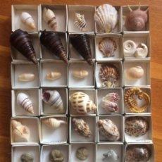 Colecionismo de moluscos: COLECCION DE CONCHAS Y CARACOLES. Lote 197191557