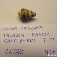 Colecionismo de moluscos: CARACOL SNAIL SHELL CONUS REGONAE. CABO VERDE. Nº 2.. Lote 198246678