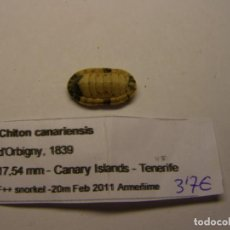 Collectionnisme de mollusques: CARACOL SNAIL SHELL CHITON CANARIENSIS. ISLAS CANARIAS.. Lote 198350316