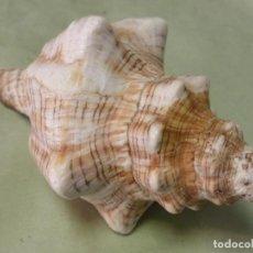 Coleccionismo de moluscos: ANTIGUA CARACOLA DE MAR DE GRAN TAMAÑO Y BONITA FORMA - 14 CENTÍMETROS. Lote 198395768