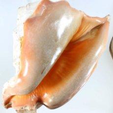 Coleccionismo de moluscos: L2772 LOBATUS PERUVIANUS 175 MM SANTA ELENA, ECUADOR , CARACOL SEASHELL SEA SHELL. Lote 198419640