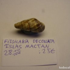 Coleccionismo de moluscos: CARACOL SNAIL SHELL FISSILABIA DECOLLATA. ISLAS MACTAN. Nº 2.. Lote 198533472