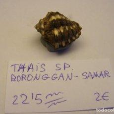 Coleccionismo de moluscos: CARACOL SNAIL SHELL THAIS SP. SAMAR.. Lote 198533848