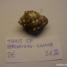 Coleccionismo de moluscos: CARACOL SNAIL SHELL THAIS SP. SAMAR. Nº 3.. Lote 198534068