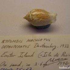 Coleccionismo de moluscos: CARACOL SNAIL SHELL STROMBUS MACULATUS. ISLA DE PASCUA.. Lote 198536652