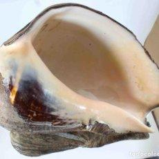Coleccionismo de moluscos: L2768 MELONGENA PATULA 145 MM , SANTA ELENA, ECUADOR. Lote 198538941