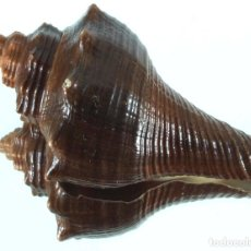 Coleccionismo de moluscos: L3090 VOLEGALEA COCHLIDIUM, 56.10 MM, BAGANASAHAN, SUMATRA, INDONESIA. Lote 198539212