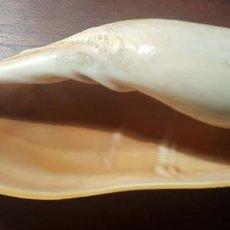 Coleccionismo de moluscos: L0206 CYMBIUM CYMBIUM , LINNAEUS, 1758, 135,00 MM FUERTEVENTURA, CANARY ISLANDS. Lote 198539597