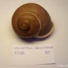 Coleccionismo de moluscos: CARACOL SNAIL SHELL HELICOSTYLA MELANOCHIELLA. Nº 2.. Lote 198557548