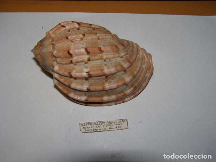 CARACOL SNAIL SHELL HARPA MAJOR. TAIWAN. (Coleccionismo - Malacología )