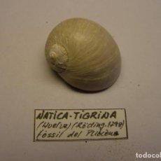 Colecionismo de moluscos: CARACOL SNAIL SHELL FÓSIL DEL PLIOCENO, NATICA TIGRINA, HUELVA, ESPAÑA. Nº 2. Lote 200738552