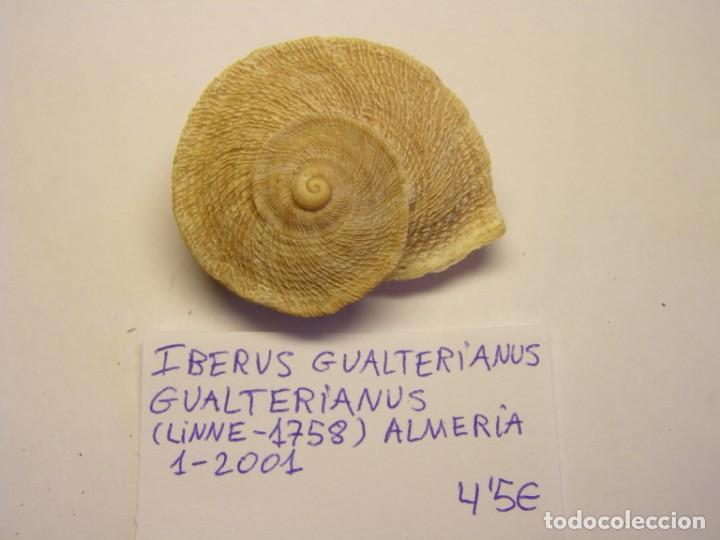 CARACOL SNAIL SHELL, IBERUS GUALTERIANUS GUALTERIANUS. Nº 2. (Coleccionismo - Malacología )