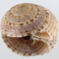 Coleccionismo de moluscos: L4034 ARCHITECTONICA NOBILIS, 43.00 MM, SENEGAL, WEST AFRICA. Lote 201814643