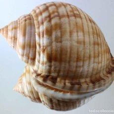 Coleccionismo de moluscos: L4139 SEMICASSIS GRANULATA, 107.00 MM, PORTO SANTO, MADEIRA, PORTUGALBIG BIG SIZE VERY RARE. Lote 201814837