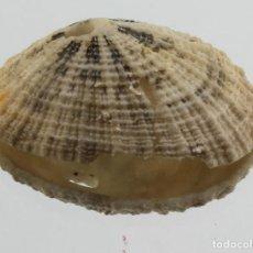 Coleccionismo de moluscos: L3908 FISSURELLA SP. 19.10 MM, SINT MAARTEN. Lote 201815663