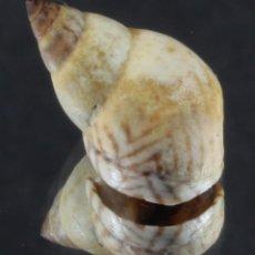 Coleccionismo de moluscos: L4006 ECHINOLITTORINA LINEOLATA, 12.70 MM, BARBADOS. Lote 201815963