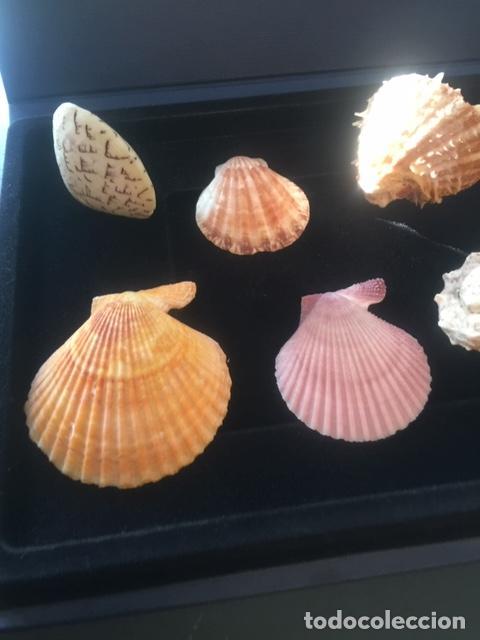 Coleccionismo de moluscos: BONITA COLECCION DE 8 CONCHAS MARINAS EN PERFECTO ESTADO (SIEMPRE EXPUESTAS EN VITRINA) - Foto 2 - 202073673