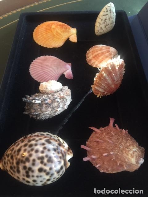 Coleccionismo de moluscos: BONITA COLECCION DE 8 CONCHAS MARINAS EN PERFECTO ESTADO (SIEMPRE EXPUESTAS EN VITRINA) - Foto 3 - 202073673
