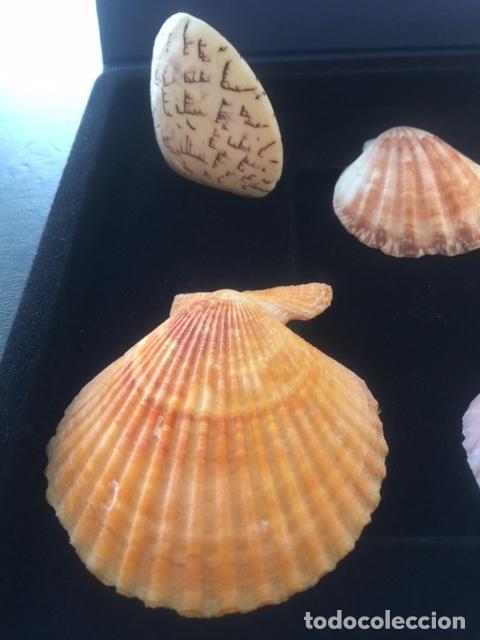 Coleccionismo de moluscos: BONITA COLECCION DE 8 CONCHAS MARINAS EN PERFECTO ESTADO (SIEMPRE EXPUESTAS EN VITRINA) - Foto 4 - 202073673