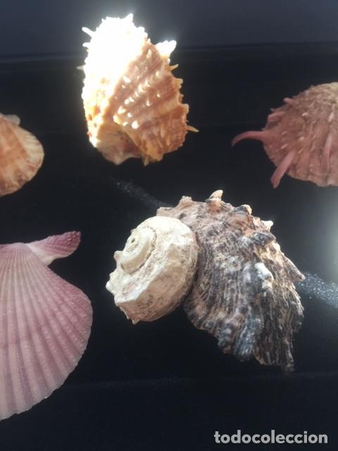 Coleccionismo de moluscos: BONITA COLECCION DE 8 CONCHAS MARINAS EN PERFECTO ESTADO (SIEMPRE EXPUESTAS EN VITRINA) - Foto 5 - 202073673