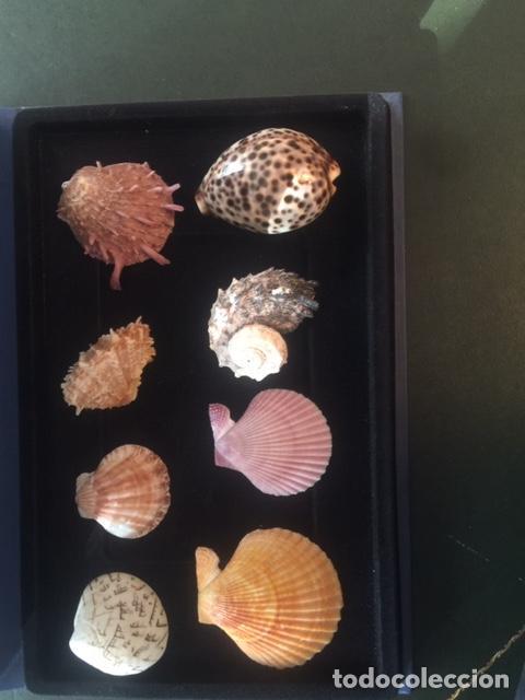 Coleccionismo de moluscos: BONITA COLECCION DE 8 CONCHAS MARINAS EN PERFECTO ESTADO (SIEMPRE EXPUESTAS EN VITRINA) - Foto 6 - 202073673