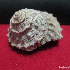 Colecionismo de moluscos: BONITO CARACOL MARINO. Lote 203224965