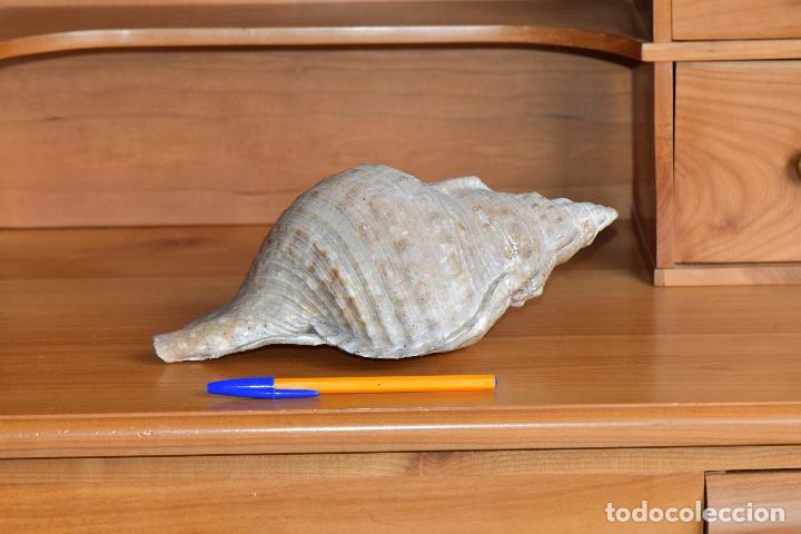 Coleccionismo de moluscos: CARACOLA GIGANTE DE 28 CM DE LARGO, 14 DE ANCHO POR 10 DE ALTO. NATURAL SIN BARNIZAR - Foto 2 - 203242497