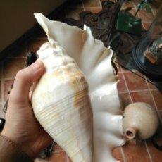 Colecionismo de moluscos: CARACOLA DE GRAN TAMAÑO 29CM . Lote 171237832