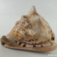 Coleccionismo de moluscos: CARACOL CARACOLA CONCHA MARINA MAR GRANDE. Lote 204426858
