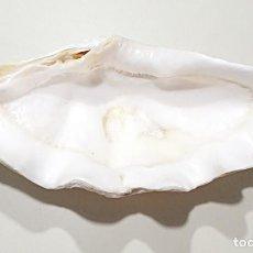 Coleccionismo de moluscos: DECORATIVA CONCHA DE ALMEJA GIGANTE - TRIDACNA GIGAS. Lote 205585281
