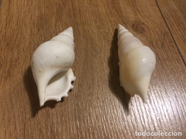 Coleccionismo de moluscos: 3 EJEMPLARES DE CONCHAS MARINAS (LAMBIS CHIRAGRA Y 2 MARTIN´S TIBIA) - Foto 4 - 207931965