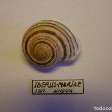 Coleccionismo de moluscos: CARACOL SNAIL SHELL IBERUS MARIAE. ALMERIA. Nº 2.. Lote 210488103